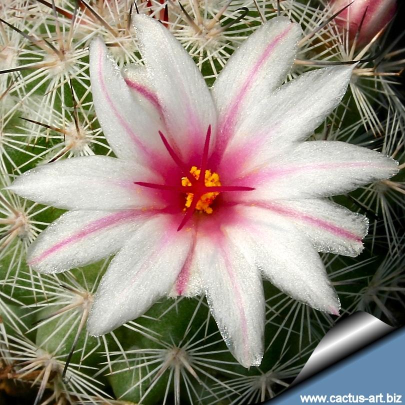 Similiar Round Cacti Pink Keywords.