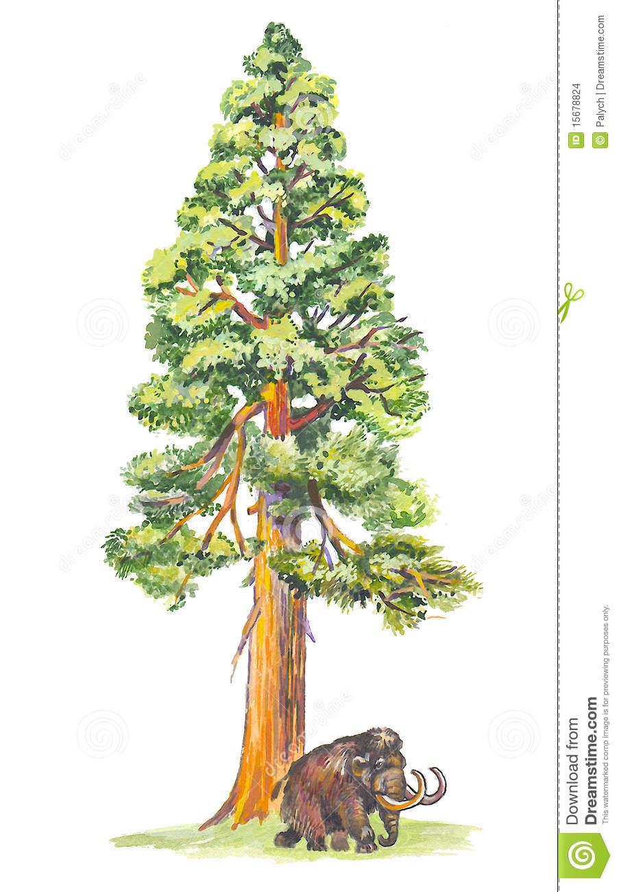 Sequoiadendron (Mammutbaum) Stockbilder.
