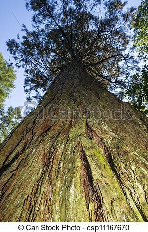 Bilder von Mammutbaum, bayerischer, deutschland, wald.