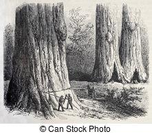 Mammutbaum Clip.