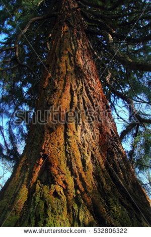 Sequoiadendron Giganteum Stock Photos, Royalty.