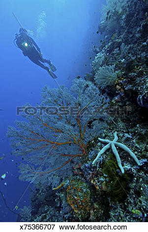 Picture of Reef scenic with diver and seastar, Bunaken National.