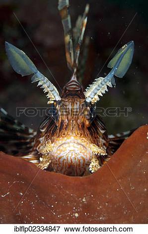 "Picture of ""Red Lionfish (Pterois volitans), adult, close."