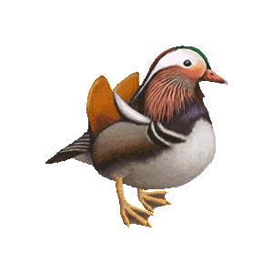 Mandarin Duck (Aix galericulata) clipart graphics (Free clip.