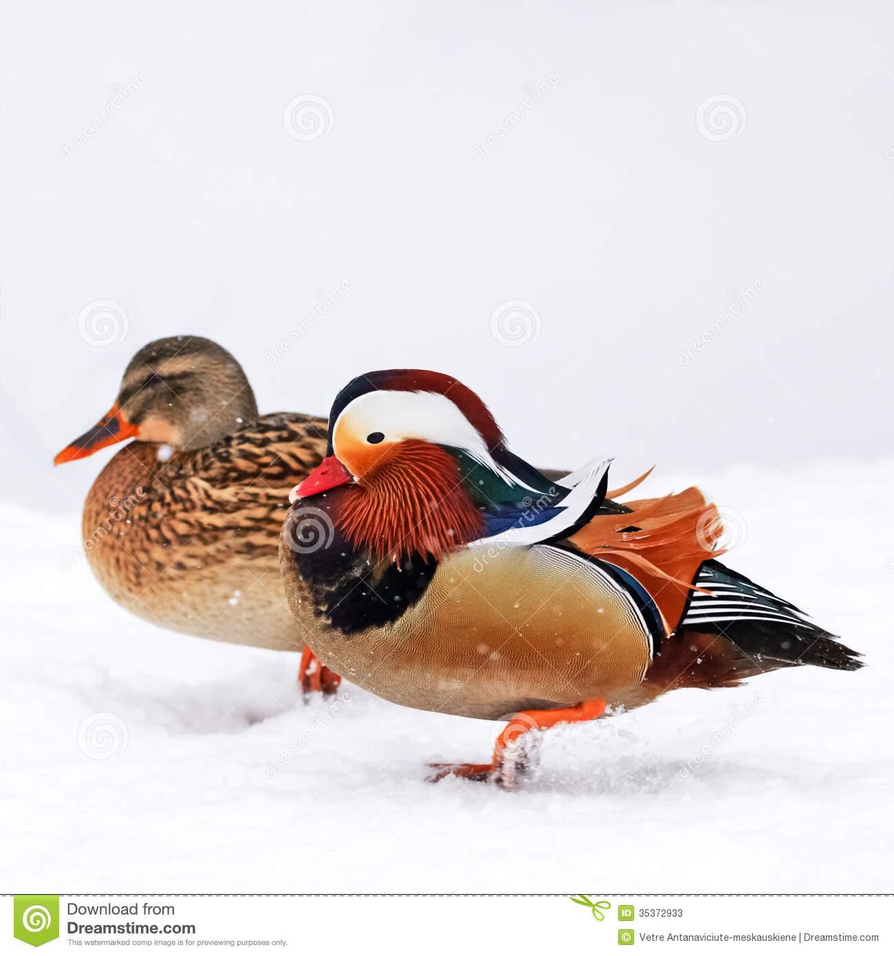 Mandarin Duck Royalty Free Stock Photos.