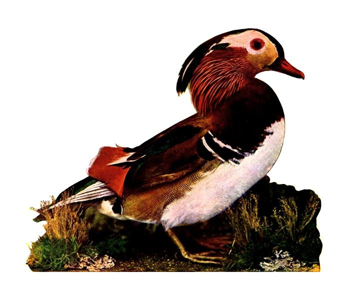 Duck Bird.