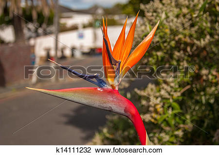 Stock Photo of Bird of paradise flower. A rare form of the bird of.