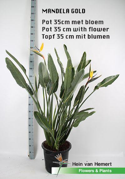 Strelitzia Mandela gold (yellow flower) in 35 cm pot.