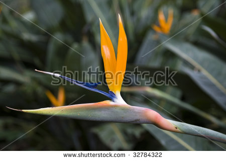 Indigenous South African Flower Stock Photos, Royalty.