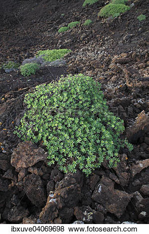 Pictures of Balsam spurge (Euphorbia balsamifera) on lava rock.