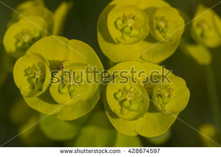 Wood Spurge Stock Photos, Royalty.