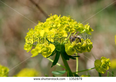 Cypress Spurge Stock Photos, Royalty.
