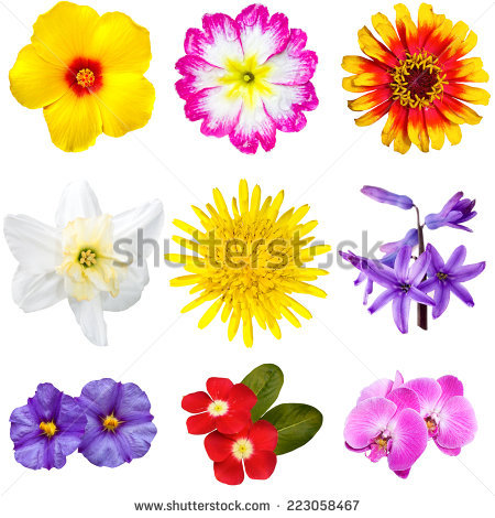 Mandevilla Stock Photos, Royalty.