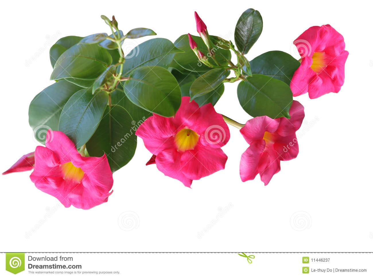 Pink Mandevilla Royalty Free Stock Image.
