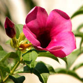 Stock Photo of Mandevilla (Dipladenia) in the pot, isolated.
