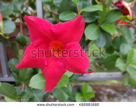 Dipladenia Stock Photos, Royalty.