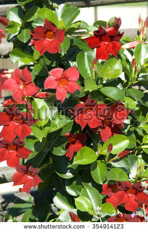 Mandevilla Sanderi Stock Photos, Images, & Pictures.