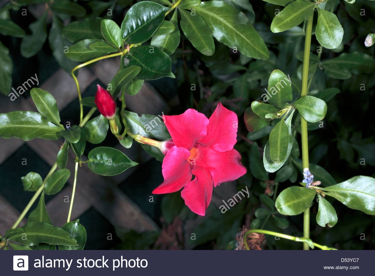 Mandevilla Stock Photos & Mandevilla Stock Images.