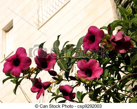 Stock Photos of Or Yehuda Mandevilla sanderi branch 2010.