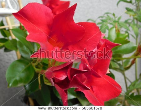 Mandevilla Sanderi Stock Photos, Royalty.