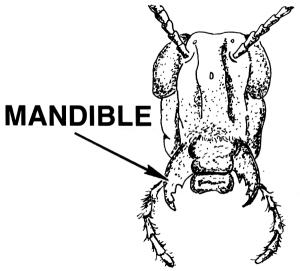 Mandible Clip Art Download.