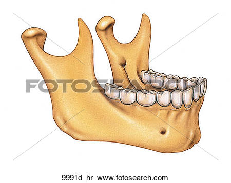 Stock Illustration of Mandible Unlabeled 9991d_hr.