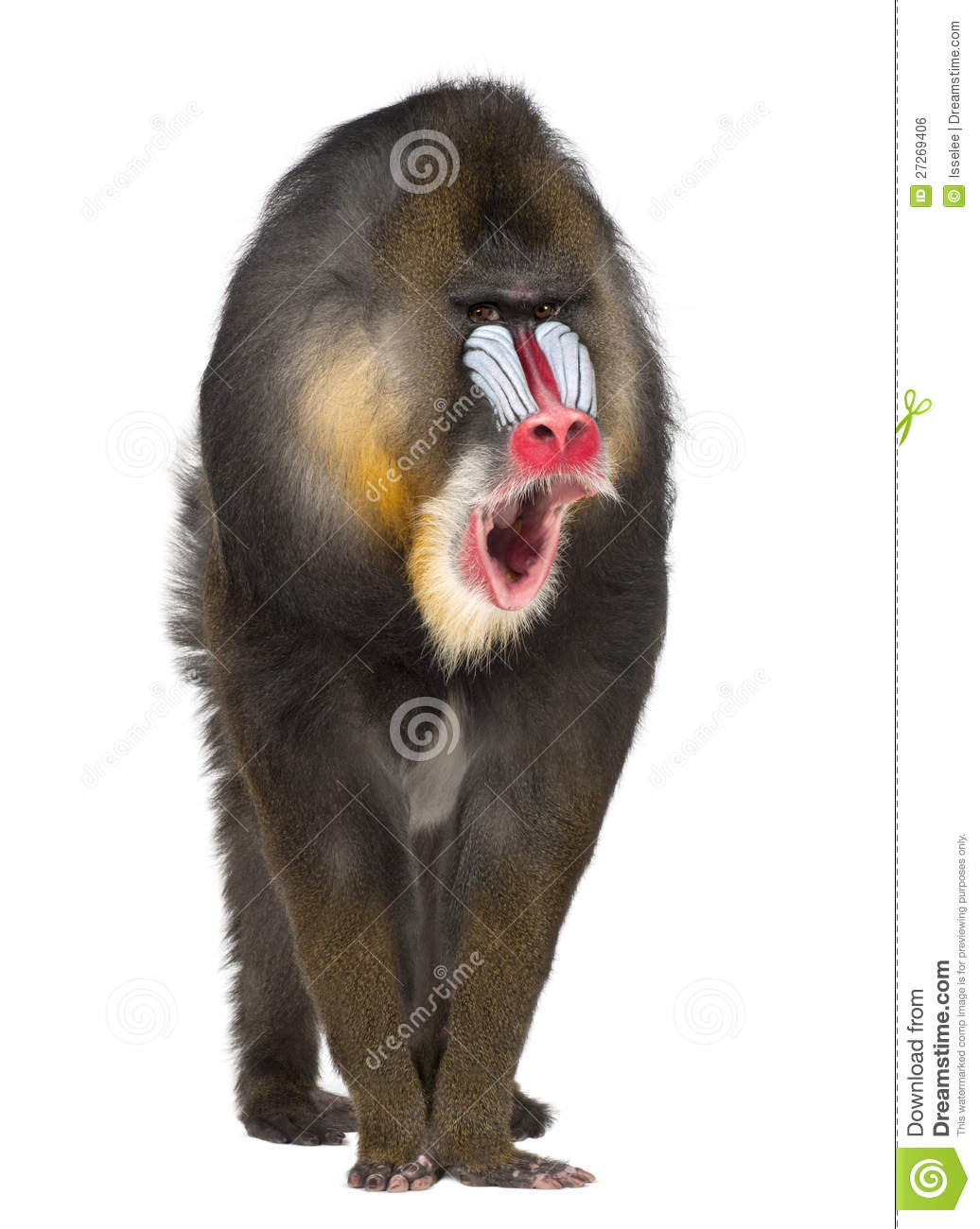 Portrait Of Mandrill, Mandrillus Sphinx Royalty Free Stock Image.
