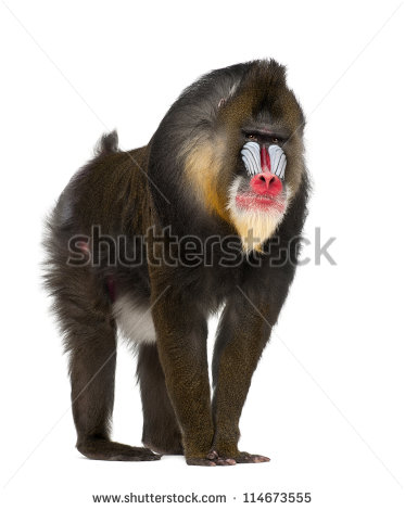 Mandrillus Stock Photos, Royalty.