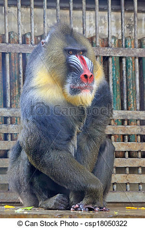 Stock Photo of Mandrill (Mandrillus sphinx) in the Beijing zoo.