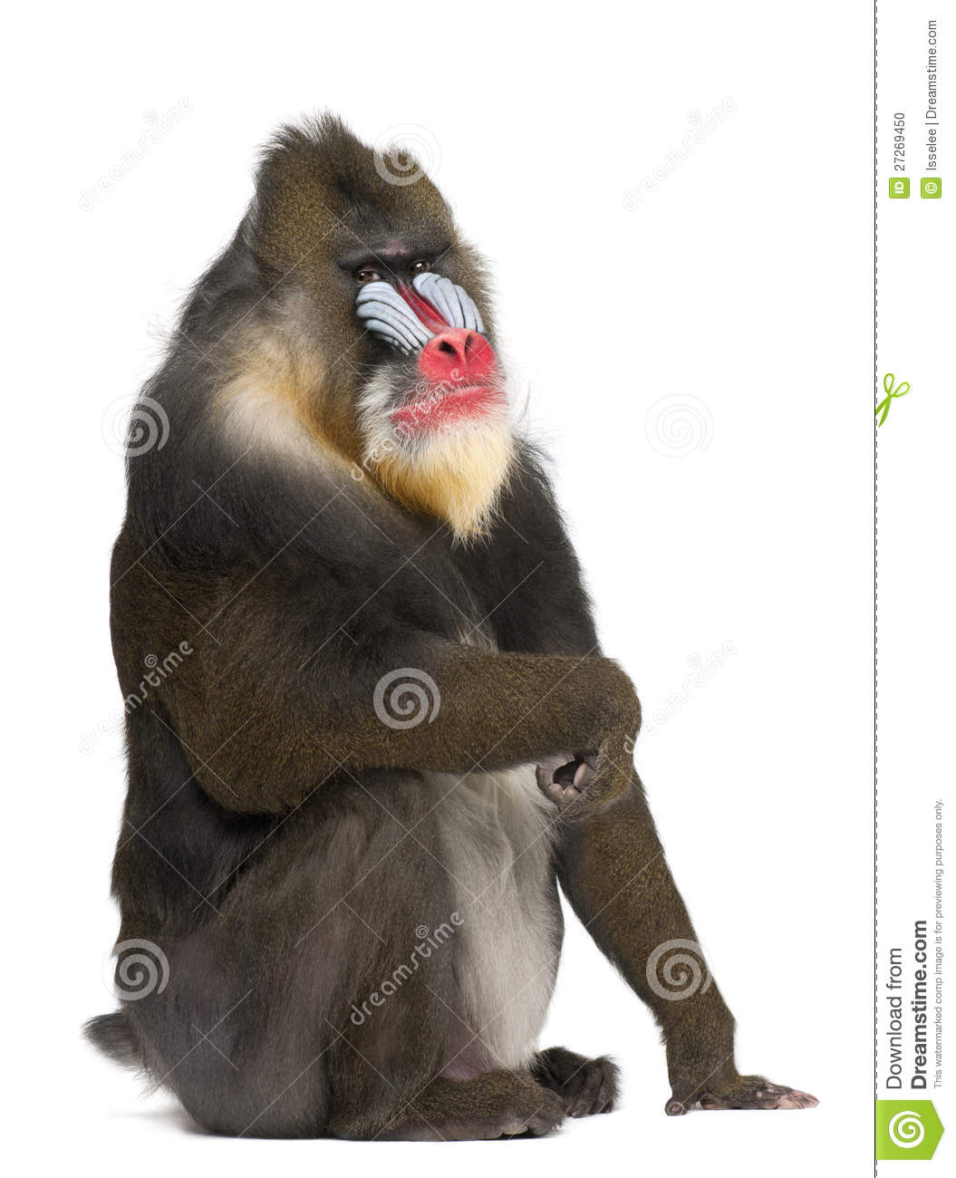 Portrait Of Mandrill, Mandrillus Sphinx, Primate Stock Photo.