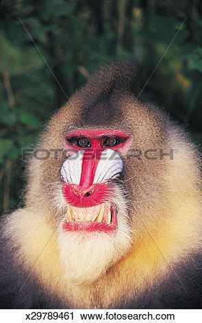 Stock Photography of Mandrill Baboon Snarling (Mandrillus sphinx.