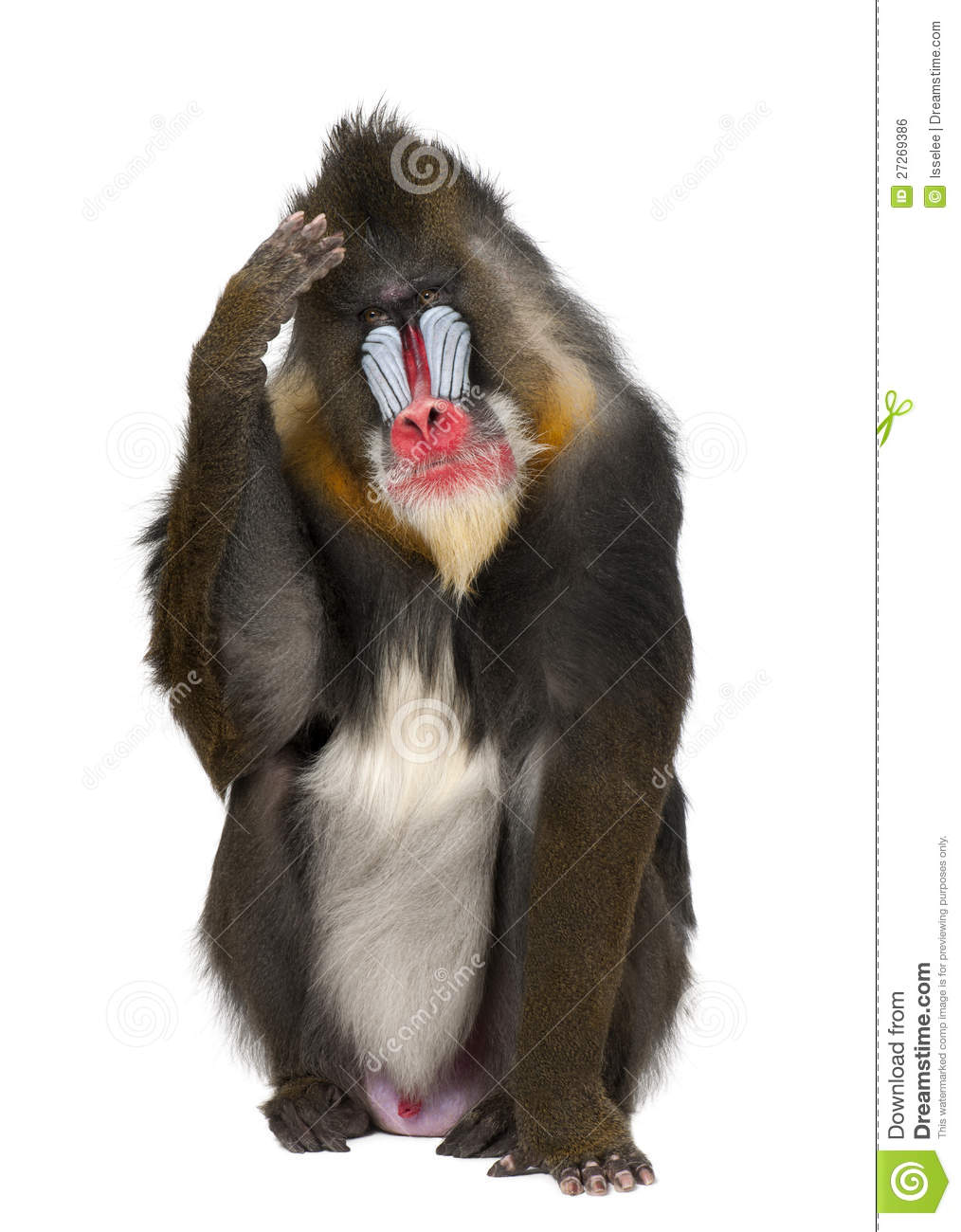 Mandrill Scratching Head, Mandrillus Sphinx Royalty Free Stock.