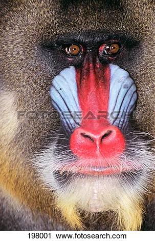 Stock Photography of Face Of Male Mandrill Baboon Mandrillus.