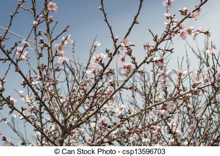 A mandula, virág, alatt, természetes, fény csp13596703 stock.
