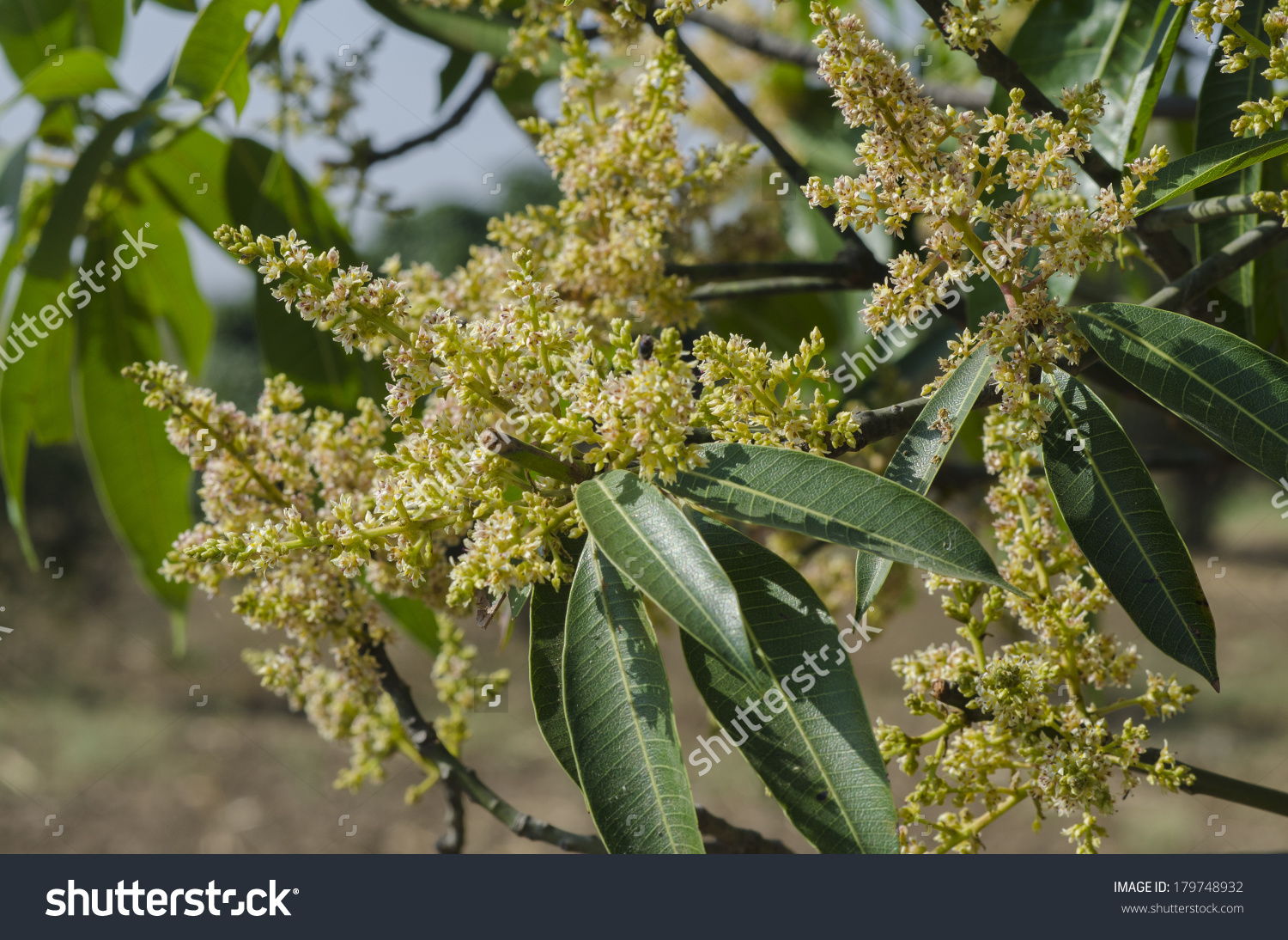 Young Mango Buds Flowers On Tree Stock Photo 179748932.