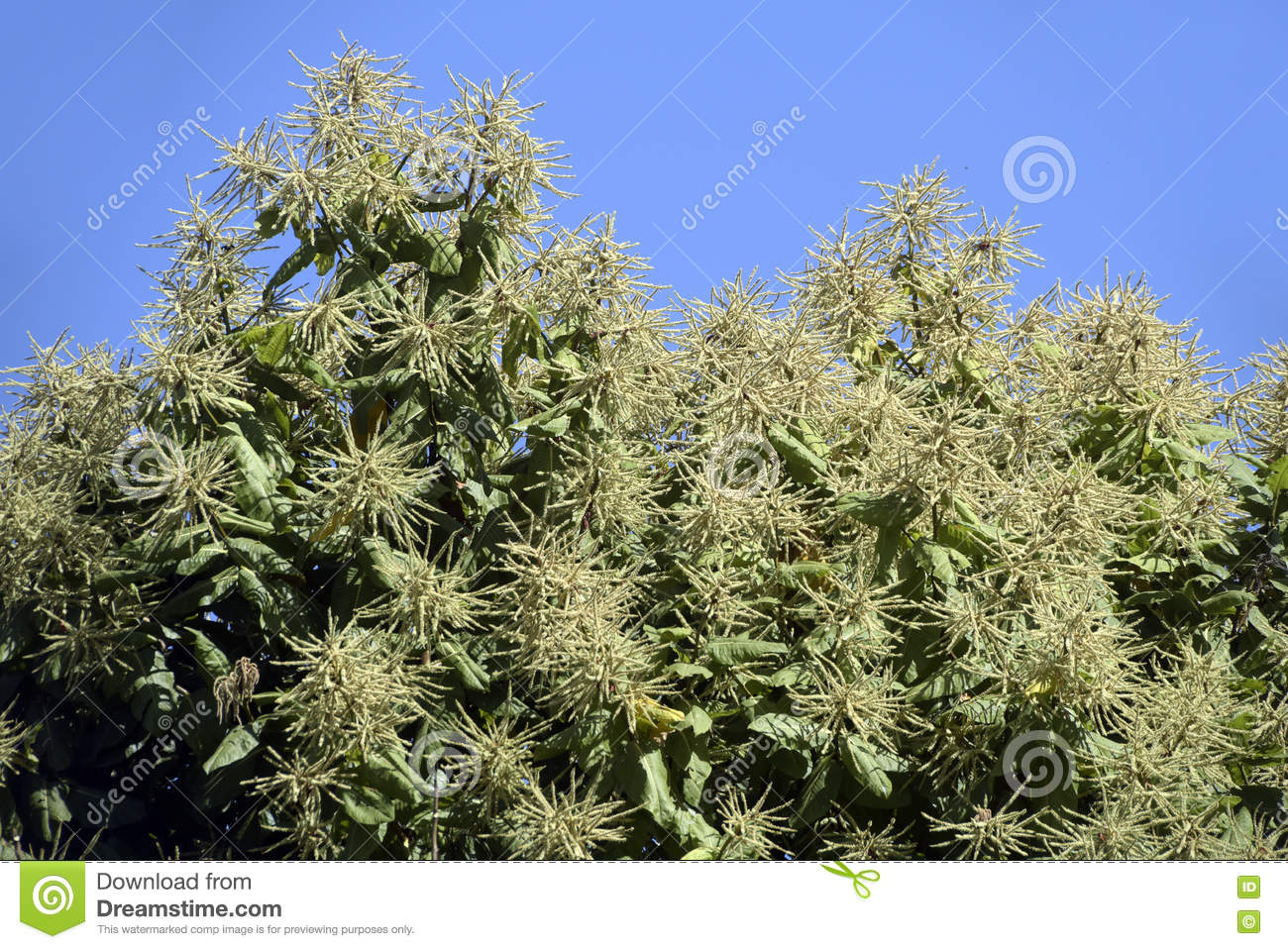 Mango Tree In Bloom Stock Photo.