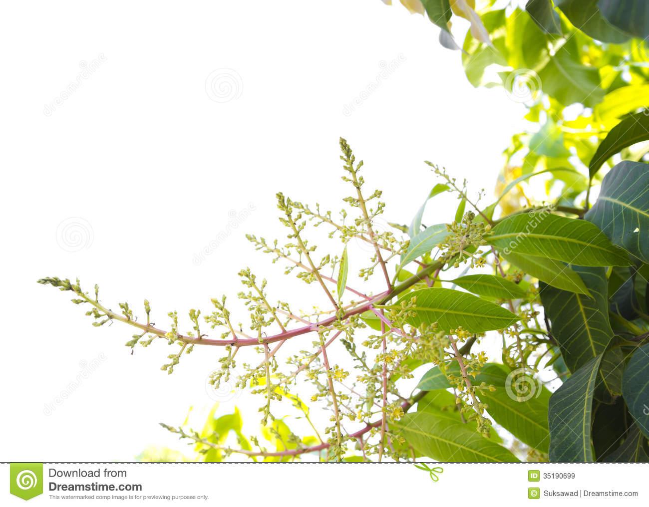 Mango Flowers Stock Photos.