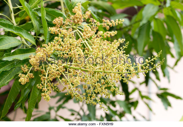Mango Tree Flower Stock Photos & Mango Tree Flower Stock Images.