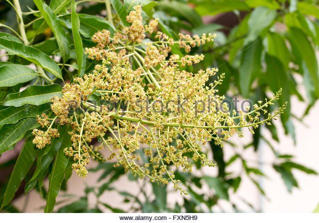 Mango Tree Flower Stock Photos & Mango Tree Flower Stock Images.