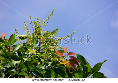 Mango Blossom Stock Photos, Royalty.