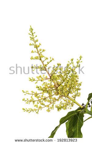 Mango Flowers Stock Images, Royalty.