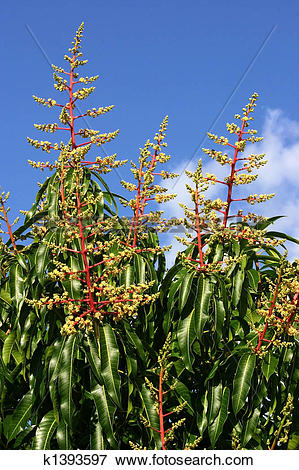 Picture of Mango Blossoms k1393597.