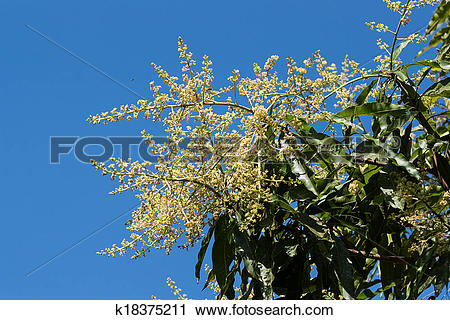 Stock Photography of mango flowers k18375211.