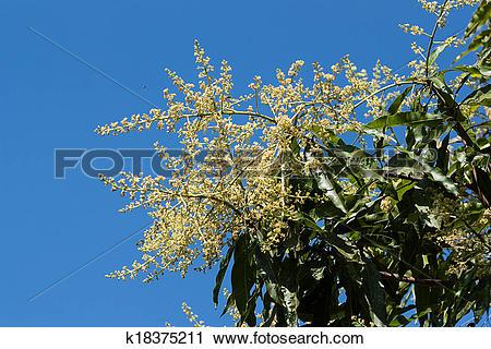 Stock Photography of mango flowers k18375211.