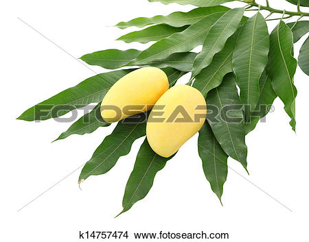 Stock Photo of Two yellow mango and pile dirty leaf isolated on.