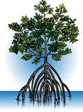 Mangrove Stock Illustrations.