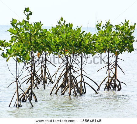 Mangrove Roots Stock Photos, Royalty.