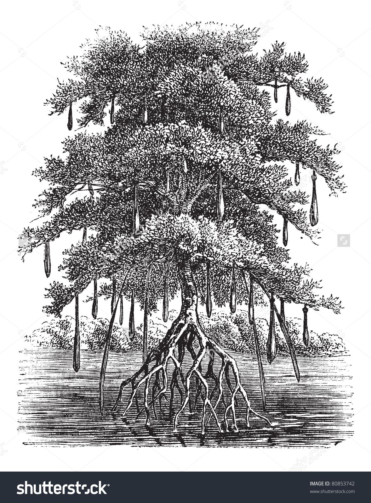 Mangrove Mangal Mangrove Swamp Mangrove Forest Stock Vector.
