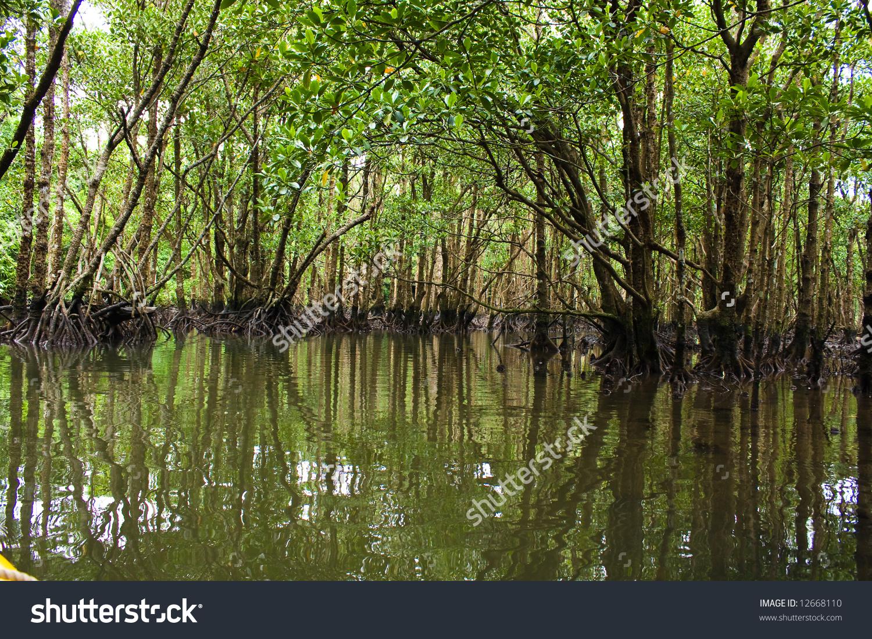 Kayaking Mangrove Jungle Stock Photo 12668110.