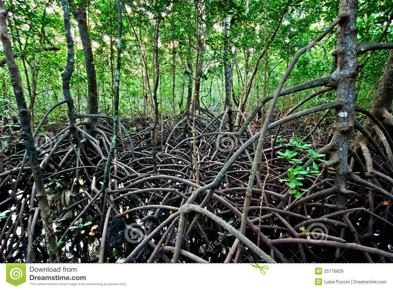Mangrove Forest Royalty Free Stock Images.